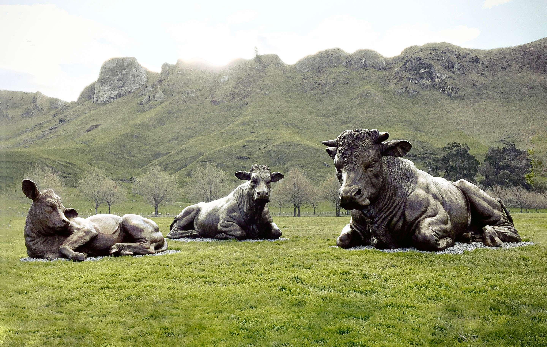 Charolais Cattle (NZ)